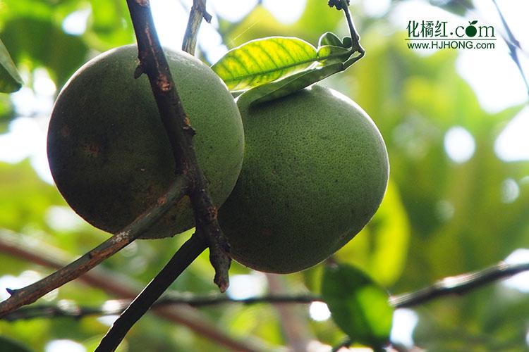 现在人们已经无法弄明白古人为什么要把这种柚子树叫作橘红树.